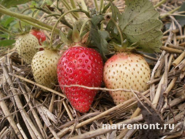 Пальчики оближешь – лучшие новинки земляники садовой (клубники)