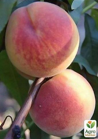 Персиковое дерево сорта киевский ранний