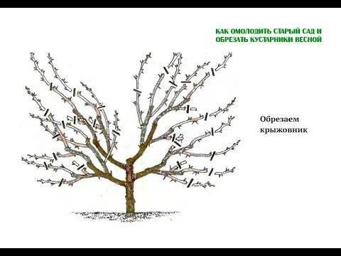 Обрезка и формирование куста чёрной смородины: особенности весенней и осенней обрезки