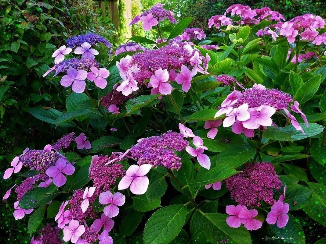 Лучшие сорта гортензии метельчатой для подмосковья | красивый дом и сад