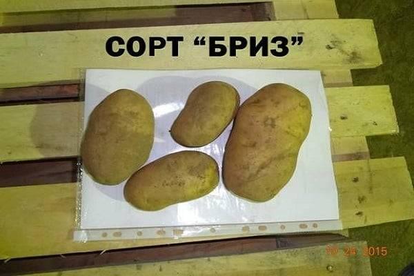 Картофель бриз: описание сорта, фото