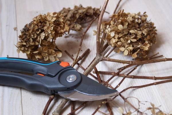 Учимся обрезать метельчатую гортензию