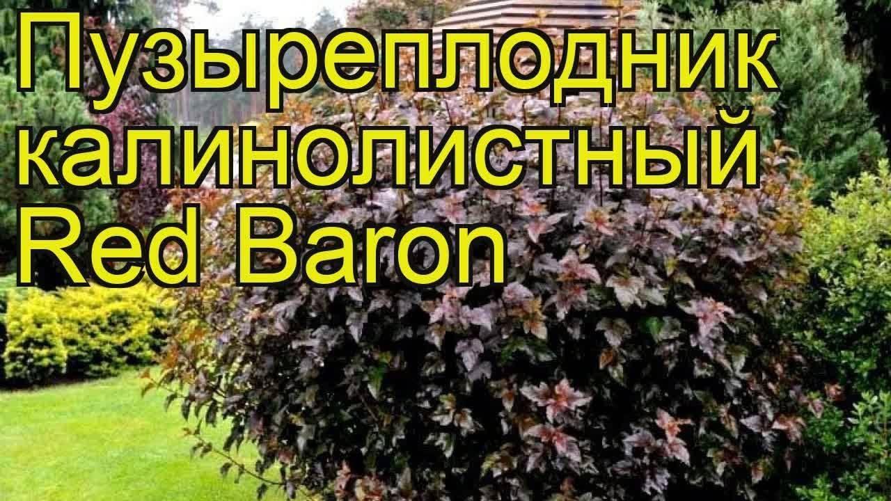 Императа ред барон – описание, посадка и уход