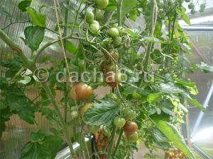 Пасынкование детерминантных помидор видео