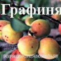 Как вырастить абрикос сорта графиня