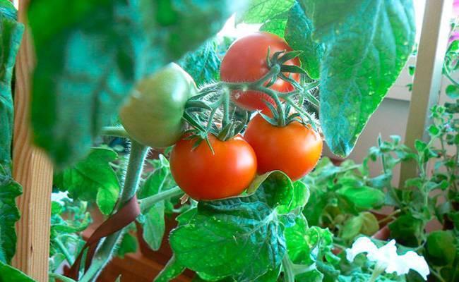 Урожай на окне круглый год: выращиваем помидоры «балконное чудо» в домашних условиях