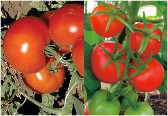 Как собрать двойной урожай скороспелых томатов «анюта f1»: описание сорта, советы по уходу