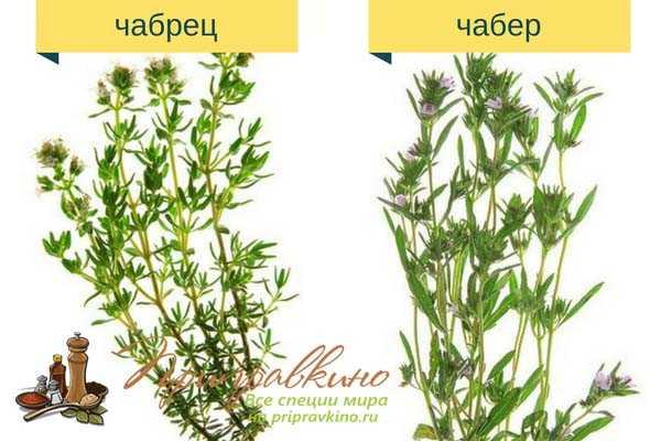"""""""чабрец: полезные свойства травы и противопоказания к применению"""""""