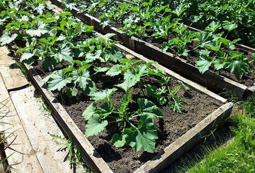 Посадка семян кабачков в открытый грунт