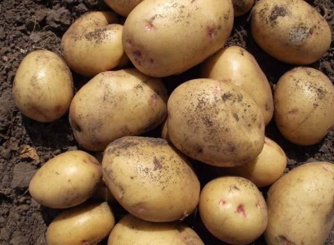 О картофеле великан: описание семенного сорта , характеристики, агротехника