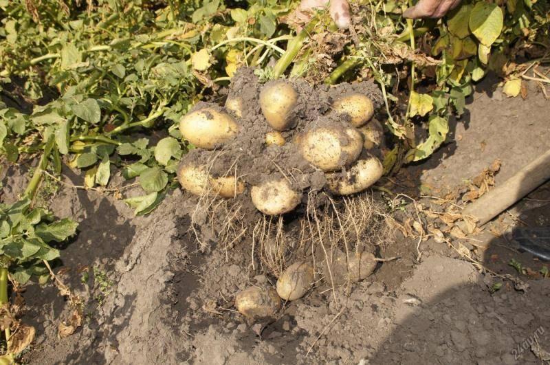 Сорт картофеля голубизна — рассыпчатый и ароматный!