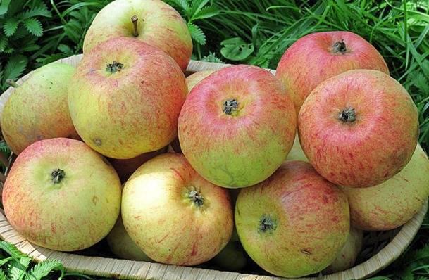 Яблоня «орловское полосатое»: описание сорта, фото и отзывы