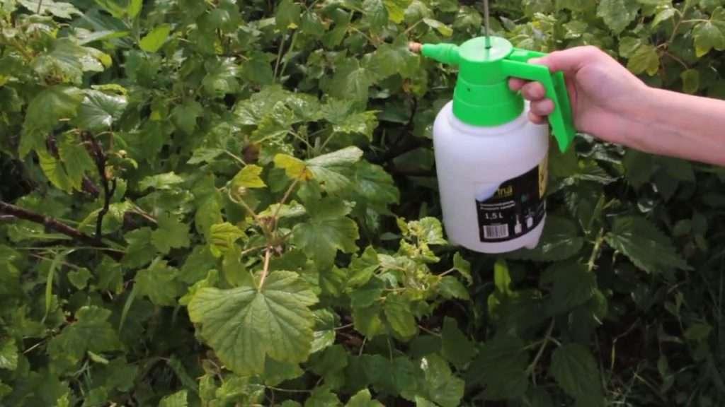 Обработка смородины весной от болезней и вредителей: средства для защиты