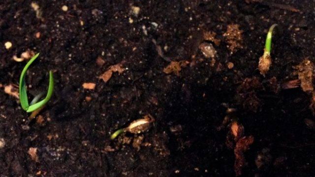 Как вырастить кедр из орешка в домашних условиях?