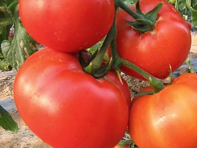 """Томат """"розовый король"""" f1:  характеристика сорта и его фото. а также полное описание достоинств и недостатков помидор, советы по выращиванию"""