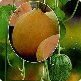 Огурдыня: выращивание и уход с фото