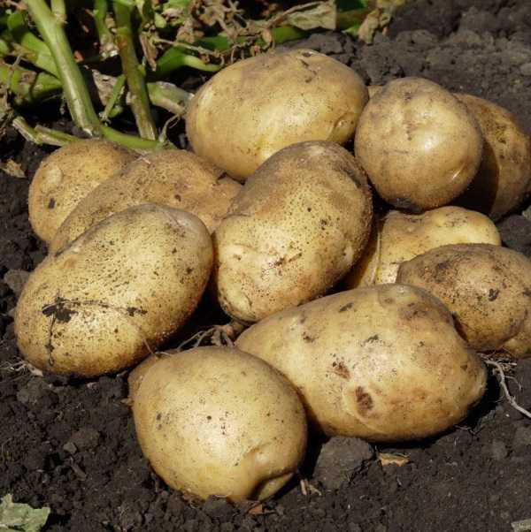 Сорт картофеля молли: описание, особенности ухода, отзывы