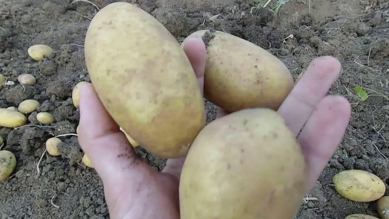 Картофель сорта гранада: немецкое чудо на наших огородах