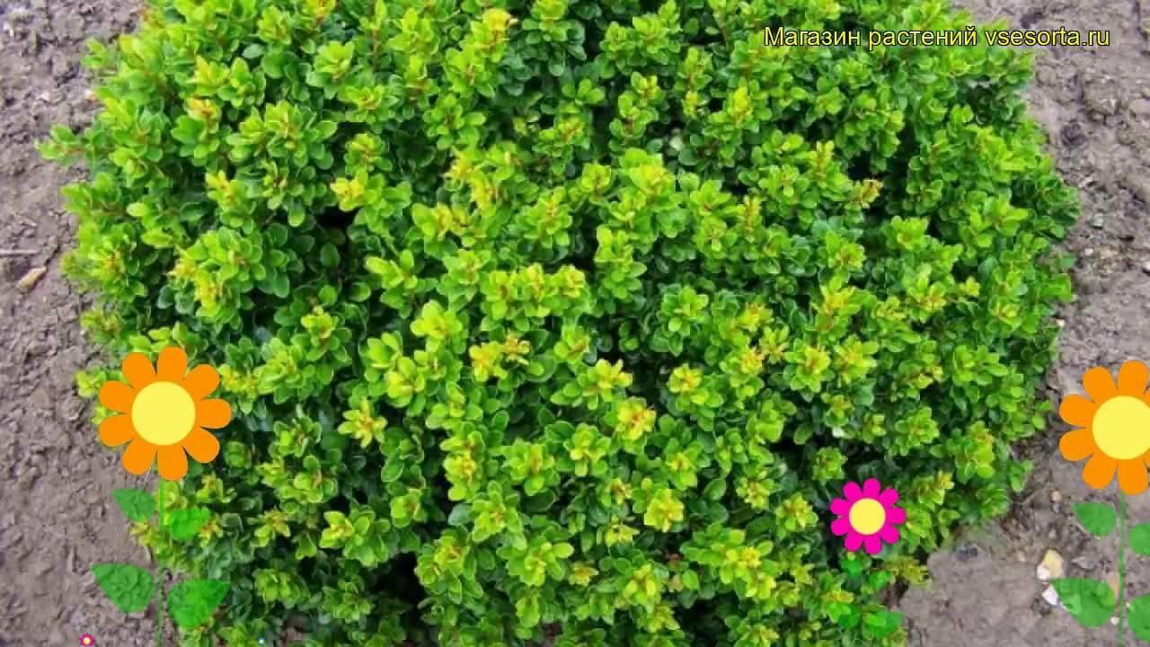 Барбарис «коронита» (30 фото): описание, использование в ландшафтном дизайне сада, посадка и уход