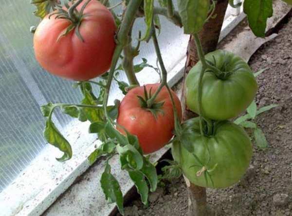 Характеристика и описание томат «сахарная настасья»