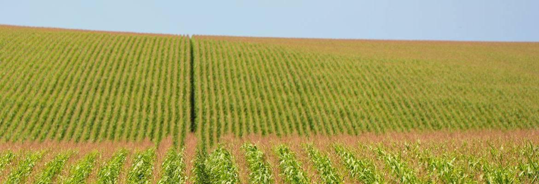 Экономическое обоснование проекта организации выращивания кукурузы на зерно