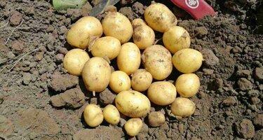 Картофель Маделина