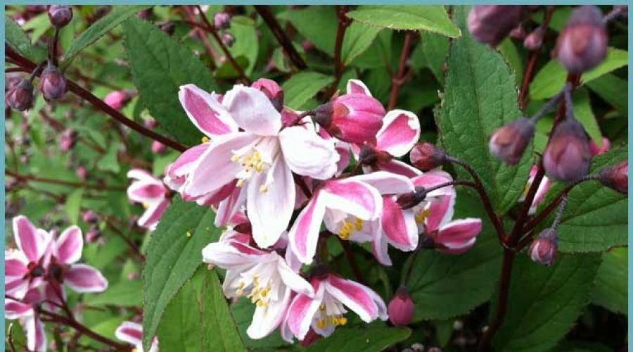 Дейция: как вырастить декоративный кустарник в саду