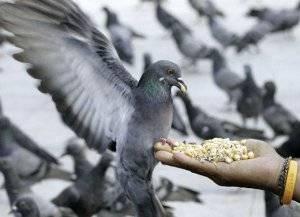 Сколько живут голуби? сколько лет живут уличные птицы в городе? продолжительность жизни домашних голубей. что влияет на срок жизни диких особей на воле?