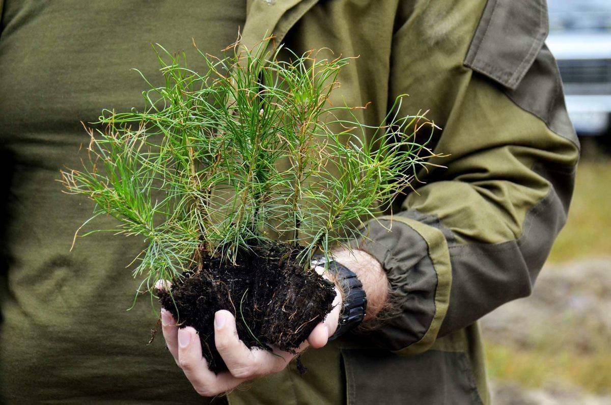 Как вырастить ель из семян? 13 фото выращивание ростка из еловой шишки в домашних условиях. сколько лет созревают семечки?