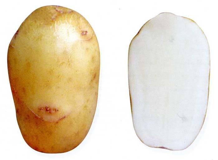 Картофель «аврора» описание сорта, фото