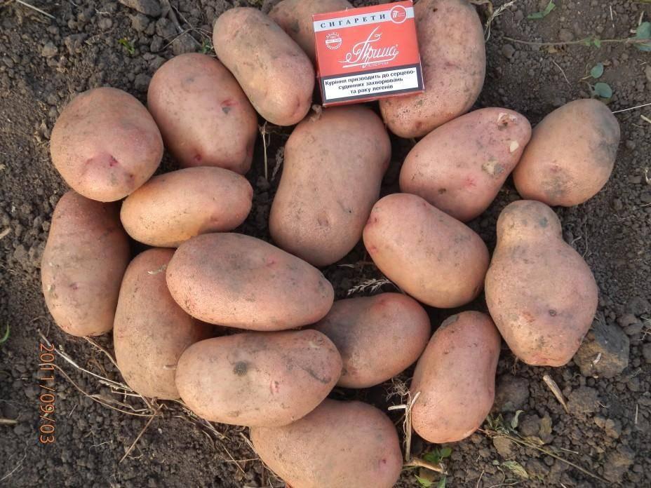 Вкусный и красивый картофель - славянка: описание вкусного сорта украинской селекции - общая информация - 2020