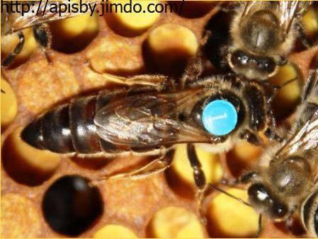 Бакфаст порода пчел: их недостаток, характеристики, описание