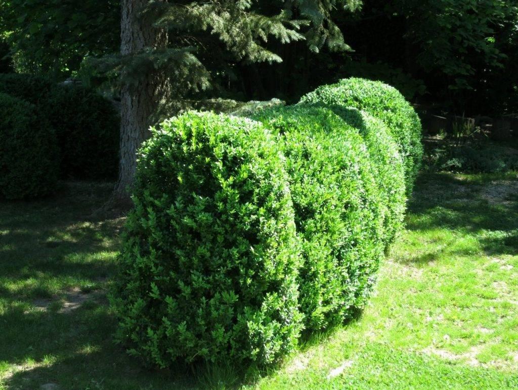 Растение самшит: описание с фото, посадка и уход в открытом грунте, как стричь и укрывать на зиму