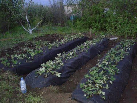 Посадка клубники под черный укрывной материал — все нюансы агротехники