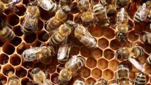 Пчёлы карника: характеристики породы и особенности пчеломаток