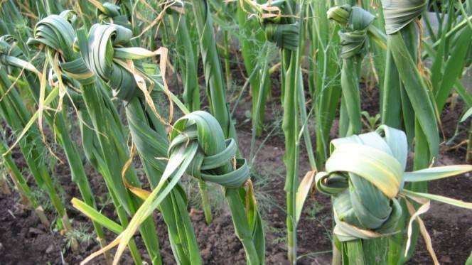 Когда и как нужно завязывать листья зимнего и летнего чеснока узлом
