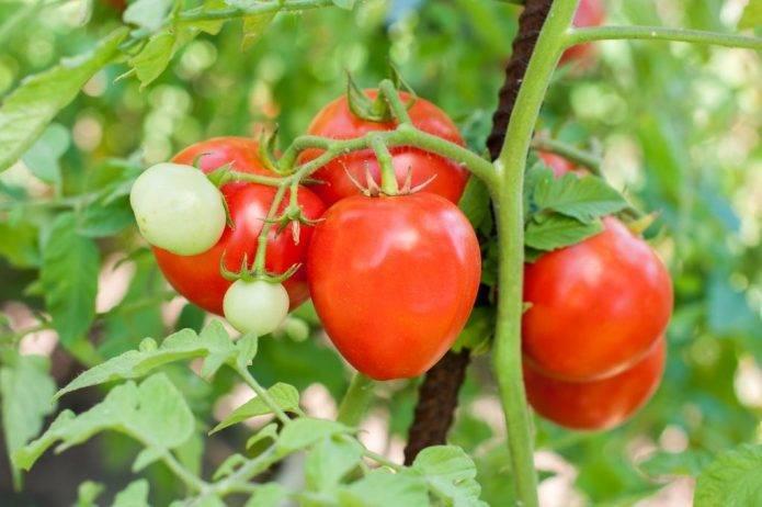 Характеристика и подробное описание сорта томата ранний 83
