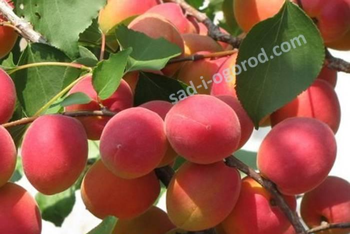 Описание и особенности выращивания абрикоса саратовский рубин