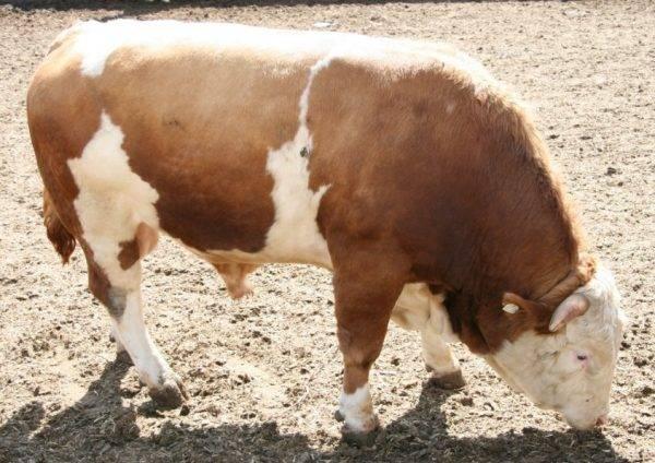 Ярославская порода коров: характеристика и особенности содержания