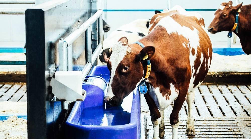 Корова не может встать на задние ноги