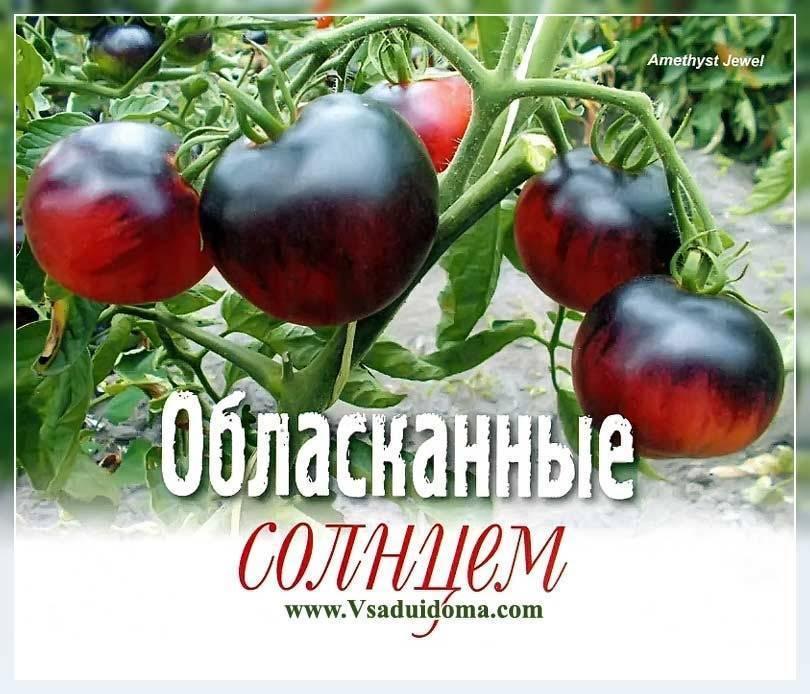 """Томат """"розовая груша"""": описание сорта, характеристики помидоров"""