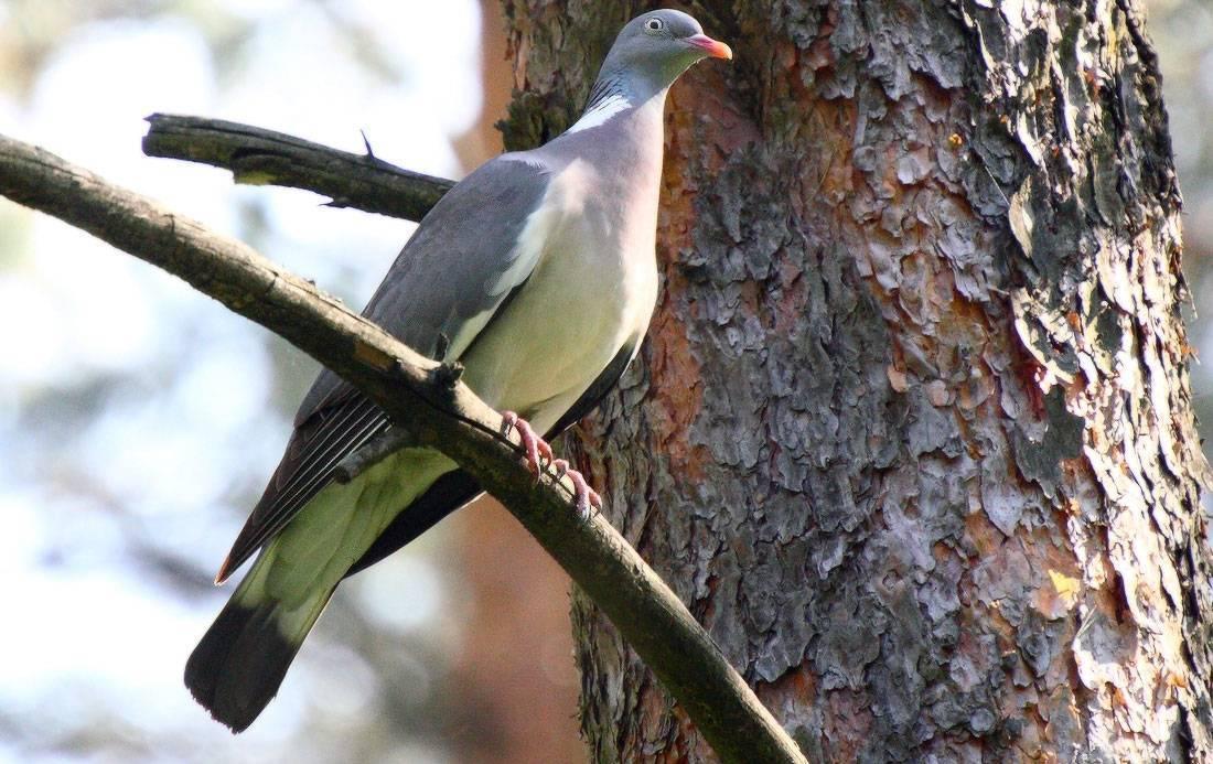 Все о голубях и как они размножаются