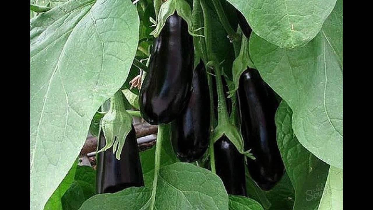 Баклажаны мечта огородника: характеристика сорта и особенности выращивания
