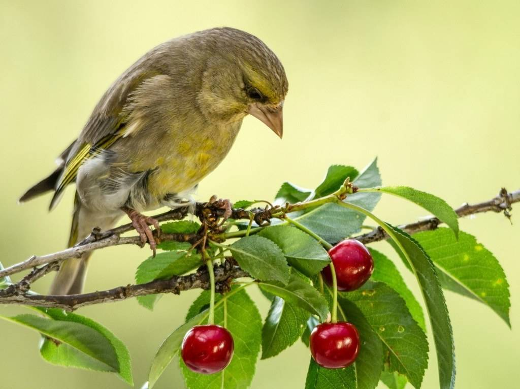 Как защитить черешни и вишни от птиц: способы сохранения урожая