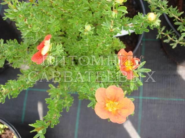 Описание сорта томата ред робин, особенности выращивания и ухода