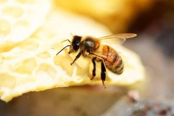 Порода пчёл бакфаст и их характеристика