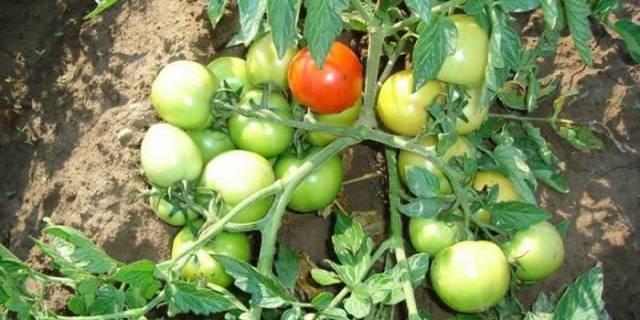 Описание сорта томата персидская сказка, его характеристика и урожайность