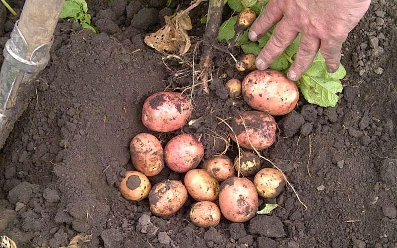 Сорт картофеля беллароза: описание, посадка и уход