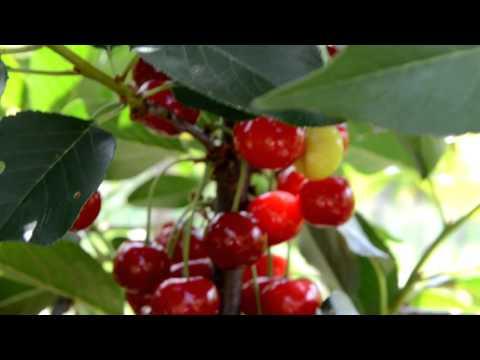 Описание сорта вишни «призвание»: посадка и уход