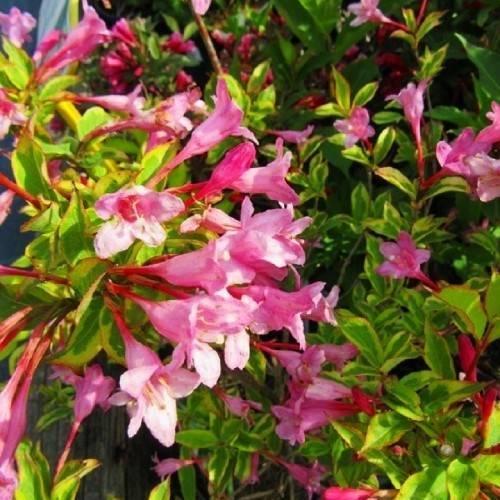 Вейгела цветущая (50 фото): описание кустарника вейгела флорида, «виктория» и «пинк принцесс», «санни принцесс» и «марджори», посадка и уход